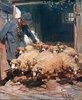 Schäfer lässt Schafe aus dem Stall