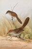 Langschnabel-Lackvogel