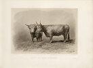 West Highland Cow, British Cattle Breed