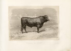Bull of Salers, French cattle breed