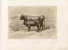 Salers cow, French cattle breed