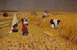 Getreideernte in der Ukraine