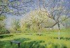 Apfelbäume in Blüte
