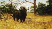Ein Kaffernbüffel im Präriegras