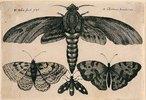 Eine Motte und drei Falter. 1646. Aus dem 'Muscarum Scarabeorum', Antwerpen 1646. Bezeichnet oben lin ks: 'W. Hollar fecit 1646'; oben rechts: 'ex Collectione Arundeliana.'