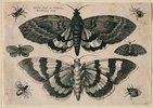 Zwei Motten und sechs Insekten. 1646. Aus dem 'Muscarum Scarabeorum', Antwerpen 1646, Tf