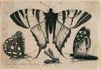 Drei Falter und eine Wespe. 1646. Aus dem 'Muscarum Scarabeorum', Antwerpen