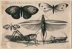 Sechs Insekten. 1646. Aus dem 'Muscarum Scarabeorum', Antwerpen 1646, Tf. 11 (nummeriert oben rechts). Bezeichnet oben links: 'W. Hollar fecit ex Collectione Arundeliana.'