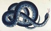 Südliche Schwimmnatter (Nerodia fasciata). Tafel 266 aus: Vivarium Naturae oder der Naturalist's Miscellany von George Shaw. Hrsg. London