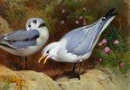 Möwen (Kittywake Gulls)
