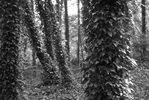 Irland; Coast Redwood von Efeu umrankt