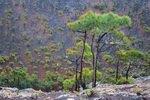 Canaren; La Palma; Kiefernbäume im Vulkankrater