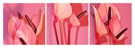 Florale Formen: Anthurieae