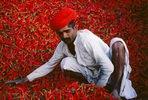 Indien; Chiliernte in Rajasthan