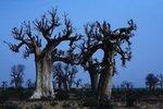 Africa Mali Segou Baobab Trees