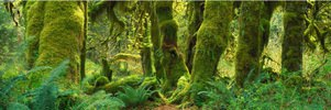 Regenwald Hoh Rain Forest im  Olympic Nationalpark, Washington, USA