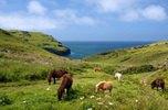 Wildponys and der Atlantikküste bei Tintagel, Cornwall, Südengland, Grossbritannien