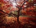 Maple tree in the Westonbirt Arboretum, Gloucestershire, England, Great Britain