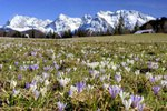 Krokuswiese mit Karwendelgebirge bei Gerold, Oberbayern, Bayern, Deutschland