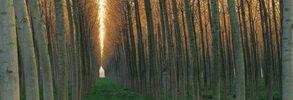 Poplars in springtime