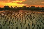Guilin Hills and rice fields at sunset, Guangxi, Zhuang, China