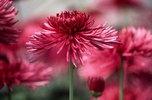 Chrysanthemum Westland