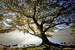 Oak tree, Ullswater, Cumbria, England