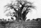Affenbrotbaum in Ost-Afrika