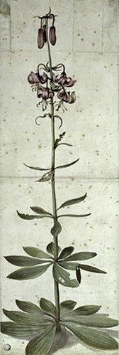 Albrecht Dürer: Türkenbund (Lilium martagon), 1495.