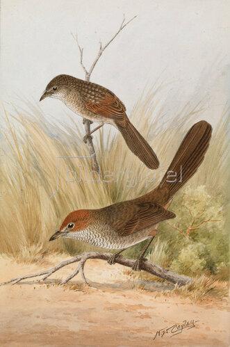 Neville William Cayley: Langschnabel-Lackvogel