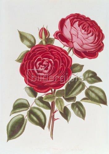 William Curtis: Die Rose Perpetual Standard of Marengo.