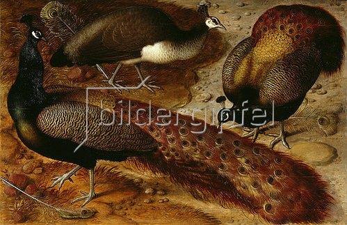 Ludger tom d.J Ring: Drei Pfauen. 1566
