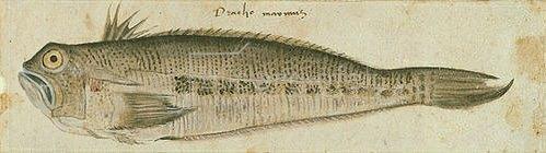 Unbekannter Meister: Ein Fisch. Ende 16. Jh.