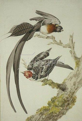 Aert Schouman: Eine Paradieswitwe und ein Sperlingsvogel.