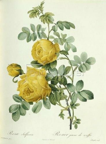 Pierre Joseph Redouté: Rosa Sulfurea. Aus der Serie 'Les Roses'. 1817-24