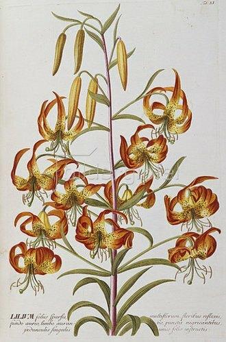 Christoph Jakob Trew: Lilie (Lilium). Aus: 'Plantae Selectae'. 1750-73