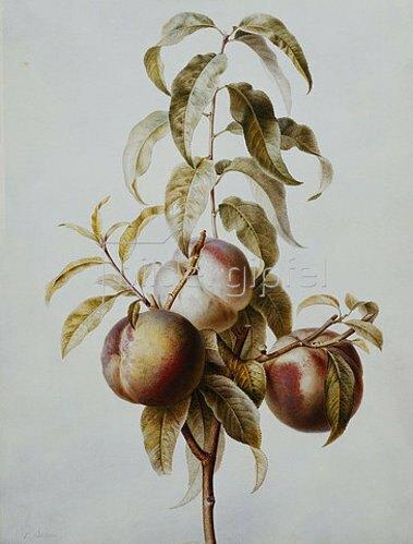 Pancrace Bessa: Zweig mit drei Pfirsichen.
