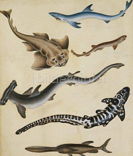 Sydenham Teast Edwards: Fischstudie.