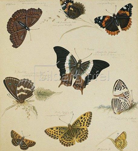 Sydenham Teast Edwards: Schmetterlingsstudie.