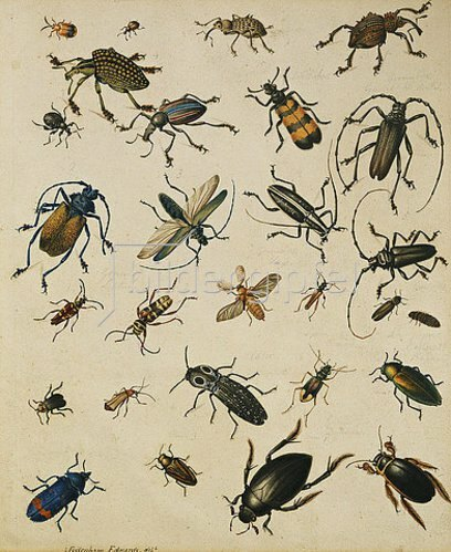 Sydenham Teast Edwards: Insektenstudie.