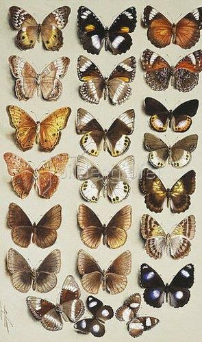 Marian Ellis Rowan: Zweiundzwanzig Schmetterlinge der Familie der Edelfalter (Nymphalidae).