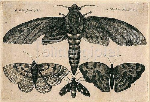 Wenzel Hollar: Eine Motte und drei Falter. 1646. Aus dem 'Muscarum Scarabeorum', Antwerpen 1646. Bezeichnet oben lin ks: 'W. Hollar fecit 1646'; oben rechts: 'ex Collectione Arundeliana.'