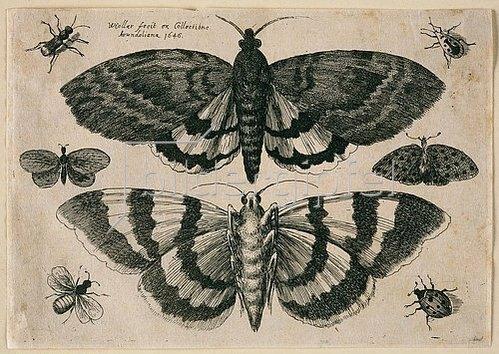 Wenzel Hollar: Zwei Motten und sechs Insekten. 1646. Aus dem 'Muscarum Scarabeorum', Antwerpen 1646, Tf. 4.