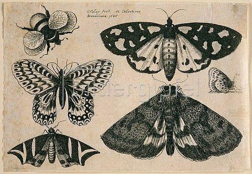 Wenzel Hollar: Drei Motten, zwei Schmetterlinge und eine Hummel. 1646. Aus dem 'Muscarum Scarabeorum', Antwerpen 1646. Tf. [8/9]