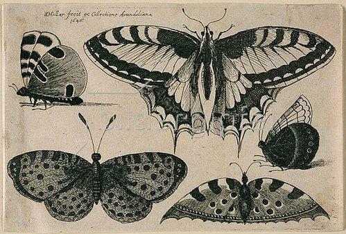 Wenzel Hollar: Fünf Schmetterlinge. 1646. Aus dem 'Muscarum Scarabeorum', Antwerpen 1646, Tf. 6 (nummeriert oben rechts). Bezeichnet oben links: 'WHollar fecit ex Collectione Arundeliana / 1646.'