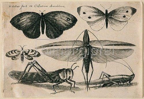 Wenzel Hollar: Sechs Insekten. 1646. Aus dem 'Muscarum Scarabeorum', Antwerpen 1646, Tf. 11 (nummeriert oben rechts). Bezeichnet oben links: 'W. Hollar fecit ex Collectione Arundeliana.'