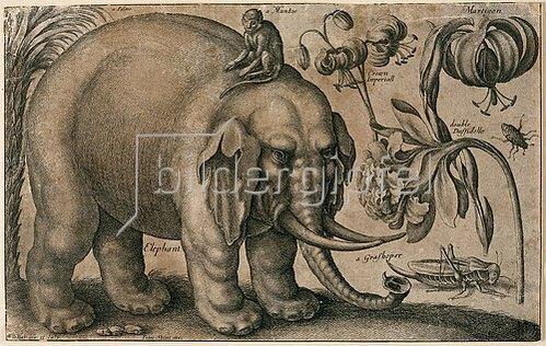 Wenzel Hollar: Elefant, Affe, Heuschrecke und Pflanzen. Um 1663