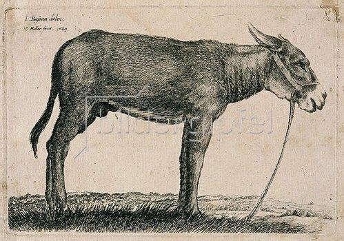 Wenzel Hollar: Esel. 1649