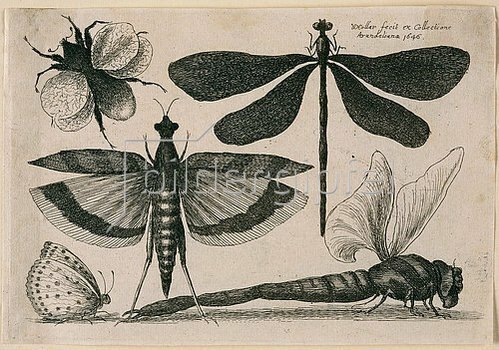 Wenzel Hollar: Libellen, ein Falter, eine Motte und eine Hummel. 1646. Aus dem 'Muscarum Scarabeorum', Antwerpen 1646, Tf. 10. Bezeichnet oben rechts: 'WHollar fecit ex Collectione / Arundeliana 1646.'