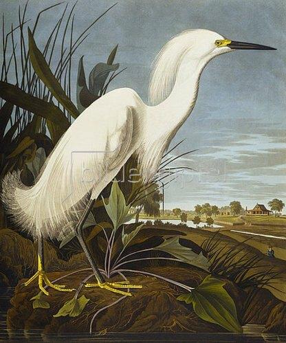 John James Audubon: Silberreiher. Tafel CCXLII von 'Birds of America'.  / Snowy Heron Or White Egret /Snowy Egret (Egretta Thula). Plate CCXLIIfrom 'The Birds of America'.